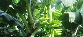 Banana-Agriculture